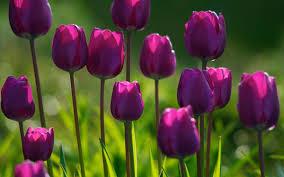 http://www.mindfulmente.it/wp-content/uploads/2016/12/tulipani1.jpg
